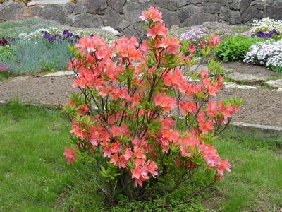 Для пышного цветения рододендроны необходимо подкармливать