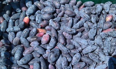 Жимолость может давать до 5 кг ягод с куста