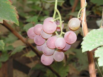 Выращивайте виноград!