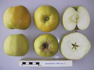 Фото: Антоновка в разрезе (Cross section of Antonovka, National Fruit Collection (acc.1948-666)). Источник: commons.wikimedia.org
