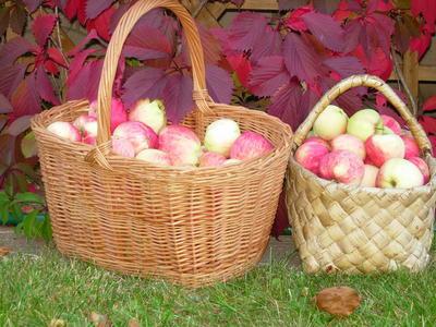 Народные сорта яблони - это наше национальное достояние
