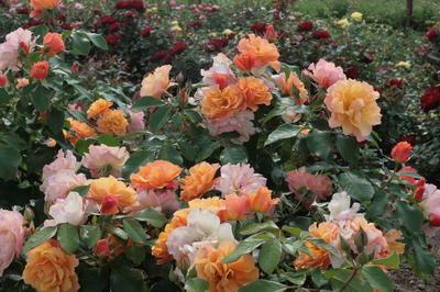 Здоровая листва делает розы еще наряднее
