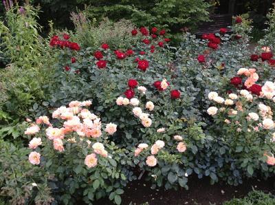 Уже осень, а розы здоровы
