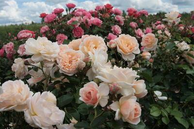 При выборе роз для своего сада склоняйтесь к группе флорибунда