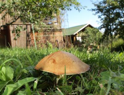 Масленок на газоне под сосной