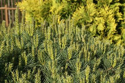 Для хвойных растений характерен верхушечный тип роста побегов