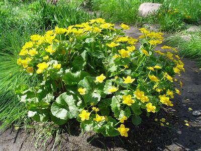 Калужница болотная цветет обильно и довольно продолжительно