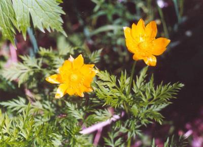 Горицвет (адонис) сибирский (Adonis sibirica)