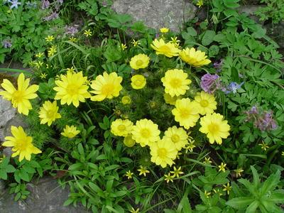 Адонис, или горицвет, - редкое весеннецветущее растение