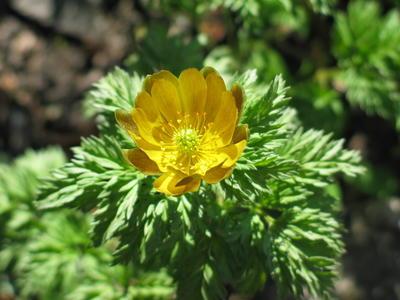 Горицвет (адонис) амурский (Adonis amurensis)