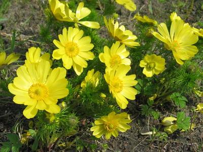Горицвет (адонис) весенний (Adonis vernalis)
