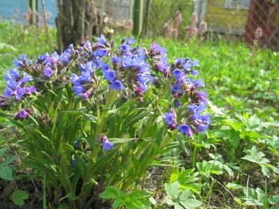 Цветки медуницы могут быть голубыми, красными или меняющими цвет от сине-голубых до красных. Медуница узколистная (Pulmonaria angustifolia) имеет темно-голубые цветки