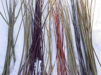 Можно использовать для плетения срезанные осенью ветки, сохраняя их зимой в снегу