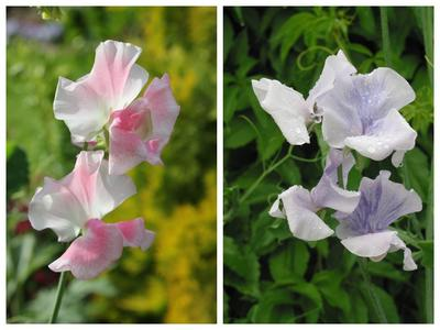 Душистый горошек 'Anniversary' (слева) и 'Madame Butterfly' (справа)