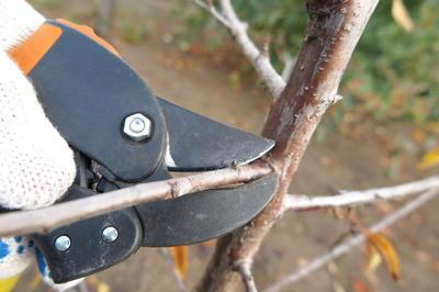 Черенки лучше всего нарезать с деревьев, которые регулярно обрезаются