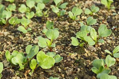 Опилки можно применять для проращивания семян