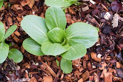 Древесную щепу можно использовать как в саду, так и на огороде
