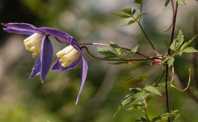 Популярные сорта клематиса альпийского: Blue Dancer, Blue Princess, Constance, Frances Rivis, Pink Flamingo.