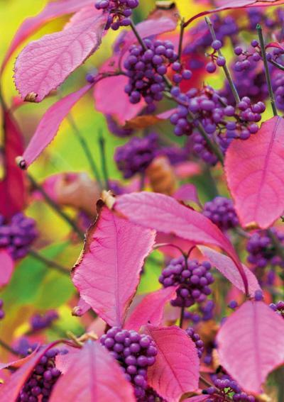 Листья красивоплодника осенью