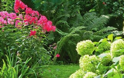 Папортники, флоксы и садовая гортензия - отличная компания, словно специально созданная для ленивого сада.