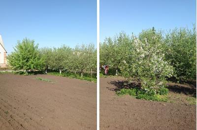 Нашему яблоневому саду уже 10 лет, и каждый год он чем нибудь радует нас.