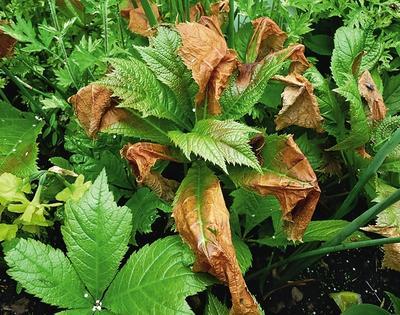 Чтобы в суровые бесснежные зимы у роджерсий не повреждались почки возобновления, осенью, после срезки листьев, растение надо присыпать небольшим слоем компоста или опавшей древесной листвы