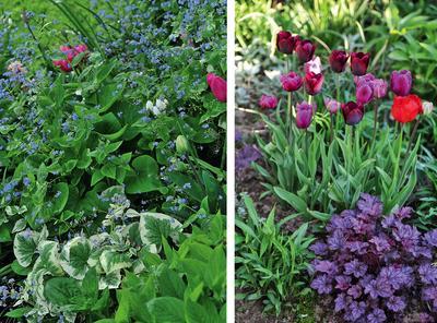 Слева: бруннера крупнолистная зацветает вместе с ранними тюльпанами. Справа: луковичные смотрятся красиво с любыми гейхерами
