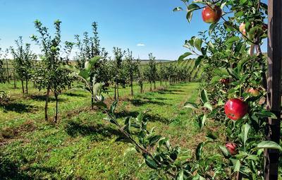Чтобы получать сочные, вкусные плоды, выбирайте тот сорт яблонь, который предназначен для вашей климатической зоны