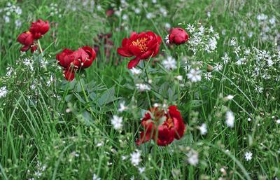 Пионы в луговых цветниках