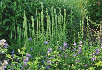 Лиатрис любит солнце, но будет расти и цвести и в легком частичном затенении