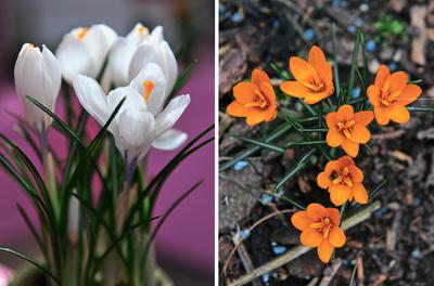 Слева: крокус Jeanne dArc. Справа: крокус Orange Monarch