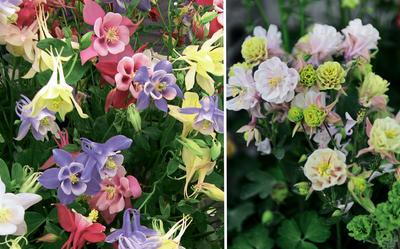 Аквилегии 'Butterfly', смесь сортов (слева) и 'Winky Double Rose and White' (справа)