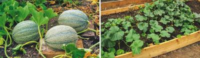 Поспевающие плоды не будут загнивать, если подложить под них доски (слева).  Лучше всего бахчевые культуры растут на теплых грядках (справа)