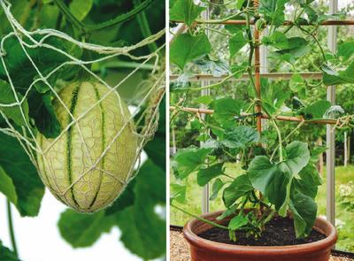 В теплице созревающие бахчевые лучше помещать в сетки (слева).  Арбузы и дыни миниатюрных сортов вполне можно вырастить в горшках (справа)