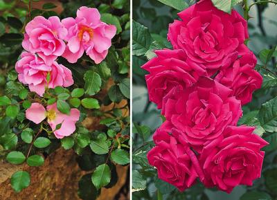 В розовом семействе найти благоухающие экземпляры совсем нетрудно