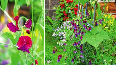 Душистый горошек, посеянный на рассаду в начале марта, зацветет в середине июня, а посеянный в грунт в начале мая - в середине июля