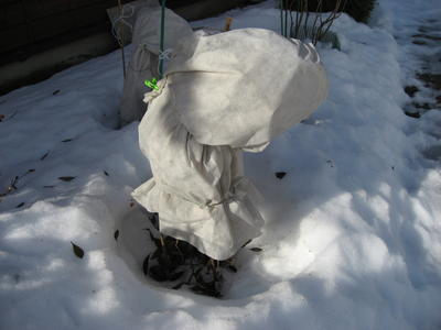 Зимняя защита листопадного рододендрона