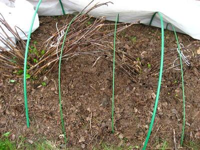 Погибшие стебли макрофилл Endless Summer в бесснежную зиму 2015-2016