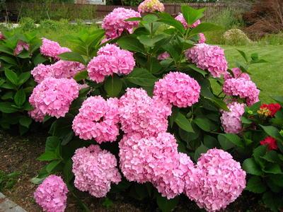 Синяя гортензия, после пересадки зацвела розовыми цветками