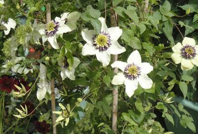 Клематисы группы Флорида, произошедшие от к. цветистого (C. florida), отличаются крайне низкой зимостойкостью. Популярны сорта Alba Plena, Duchess of Edinburgh, Sieboldii (на фото).