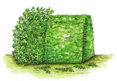 Забор округлой формы формируют из раскидистых растений, таких как лавровишня, фотиния и бирючина.