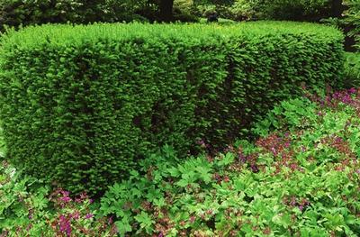 Тис ягодный (Taxus baccata)