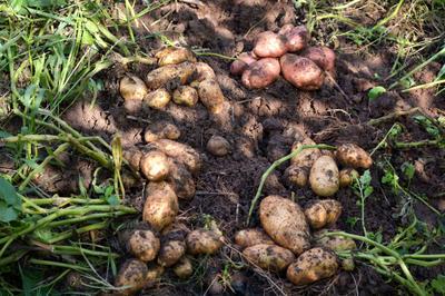 Мой картофель на компосте