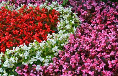 Клумба из разных сортов бегонии вечноцветущей