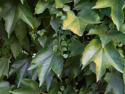 Виноград девичий триостренный (Parthenocissus tricuspidata)