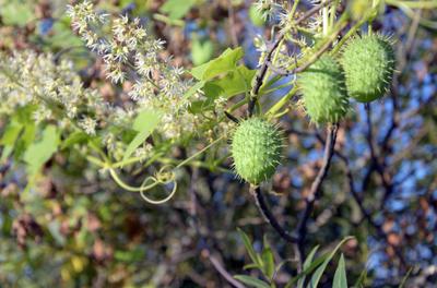 Эхиноцистис, или колючеплодник лопастный (Echinocystis lobata)