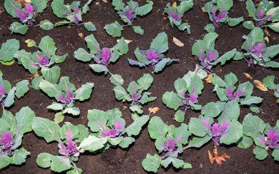 Рассаду высаживают в грунт в конце апреля или в мае