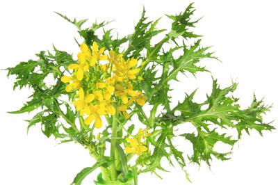 На второй год вегетации растение выбрасывает цветонос и дает семена