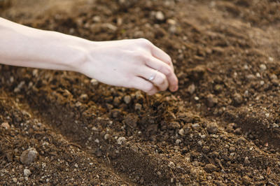 Мизуну лучше высаживать прямым посевом в грунт