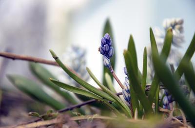 Пушкинии очень легко подобрать место в саду - она уместна практически везде
